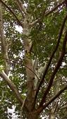 獨角仙寄居台灣光蠟樹:35461半落葉中喬木.jpg