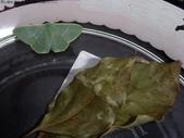 復旦-新天母公園的昆蟲2017/11:DSC02456綠翠尺蛾羽化.JPG
