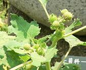 菊科植物:羊帶來花序與幼果