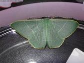 復旦-新天母公園的昆蟲2017/11:DSC02467綠翠尺蛾.JPG