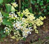 驚豔的花朵(白色系):九芎花序