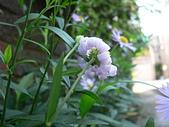 菊科植物:馬蘭花瓣向外捲起