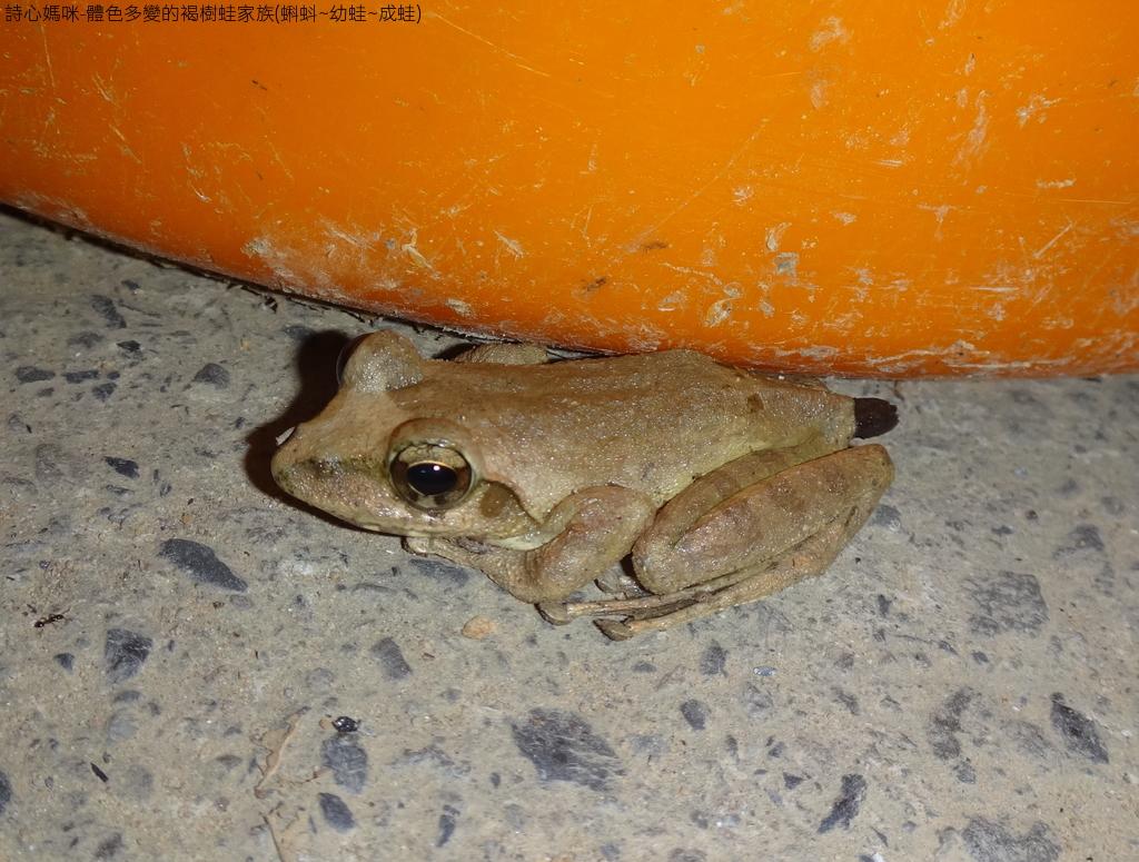 體色多變的褐樹蛙家族(蝌蚪~幼蛙~成蛙):DSC04445.JPG
