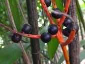 夏威夷椰子黃花序及黑果子:DSC05537.JPG