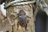鞘翅目 金龜子:母獨角仙