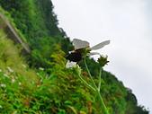 鞘翅目 金龜子:P2070065.JPG