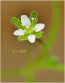 驚豔的花朵(白色系):大瓜槌草白花