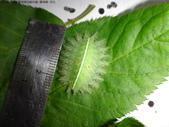 黑點扁刺蛾四齡幼蟲~圓褐繭~羽化:DSC01400身長2.5公分.JPG