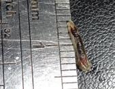 細扁食蚜蠅終齡幼蟲~化蛹~羽化:DSC06578身長約8mm.JPG