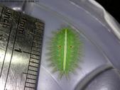 黑點扁刺蛾四齡幼蟲~圓褐繭~羽化:DSC09994身長1.6公分.JPG