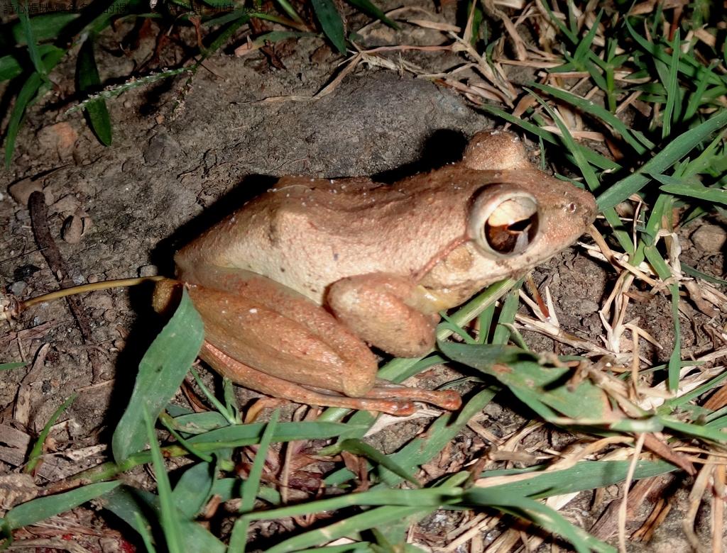 體色多變的褐樹蛙家族(蝌蚪~幼蛙~成蛙):DSC04461.JPG