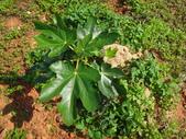 109年,復旦社區新的花草樹木:DSC03112無花果.JPG