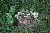 野生菇蕈天地 101~102年:略薄多孔菌