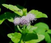 菊科植物:P2160250