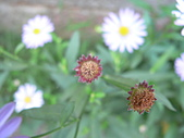 菊科植物:P2110349