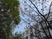 復旦三月花朵:DSC02722富士櫻開花.JPG