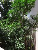 後院種25年的柚子樹首次結果:DSC00515.JPG