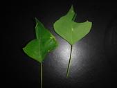 細蛾幼蟲捲葉~蛹~羽化 (三條白斑紋):DSC05920烏桕.JPG