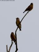 復旦社區稀有冬侯鳥-金翅雀:N74A4469b.jpg
