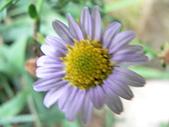 菊科植物:P2130801