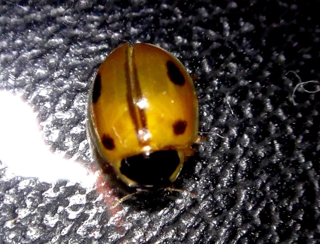龜紋瓢蟲一齡幼蟲剛孵化~蛹~羽化:DSC06176斑紋變異.JPG