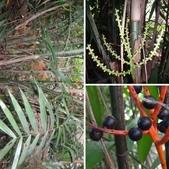 夏威夷椰子黃花序及黑果子:相簿封面