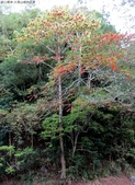 大雪山植物花草:IMG_8627山桐子植株.jpg