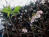 復旦三月花朵:DSC02732.JPG