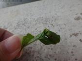 黑點捲葉象鼻蟲的卵苞搖籃:DSC07961.JPG