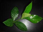 梔子三紋野螟蛾(幼蟲~蛹~羽化):DSC08632山黃梔綠幼蟲.JPG