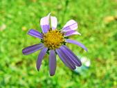 菊科植物:狗娃花紫黃二色花朵