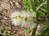 驚豔的花朵(白色系):白千層花序