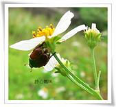 鞘翅目 金龜子:蒙古豆金龜