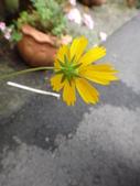 菊科植物:DSC00644.JPG