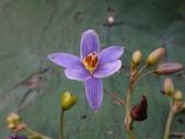 復旦三月花朵:DSC03139紫藍色花朵.JPG
