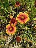 菊科植物:235319天人菊.jpg