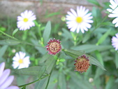 菊科植物:馬蘭種子