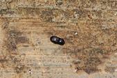 鞘翅目 金龜子:DSC02872