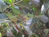 梨偽毒蛾終齡幼蟲~繭蛹~羽化:DSC07875梨偽毒蛾終齡幼蟲.JPG