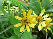 菊科植物:雙花蟛蜞菊花朵