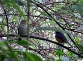 東勢大雪山半日賞鳥:IMG_8739黃腹琉璃公鳥與白腹母鳥.jpg