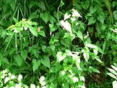 菊科植物:野花-小花蔓澤蘭