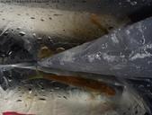 丁子蘭溪與虎豹潭北勢溪水中的魚、蝦、螺和鱉:DSC04361台灣鏟頷魚(俗稱苦花).jpg