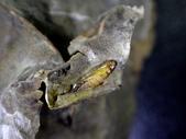 細蛾幼蟲捲葉~蛹~羽化 (三條白斑紋):DSC06543.JPG