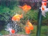 最後上課的一星期 2008-01-28~02-01:金魚