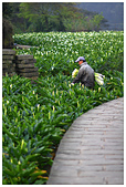 2012陽明山竹子湖賞海芋:IMG_4970-1.jpg