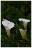 2012陽明山竹子湖賞海芋:IMG_4988-1.jpg