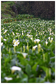 2012陽明山竹子湖賞海芋:IMG_5031-1.jpg