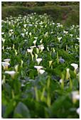 2012陽明山竹子湖賞海芋:IMG_5034-1.jpg
