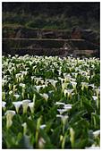 2012陽明山竹子湖賞海芋:IMG_5057-1.jpg
